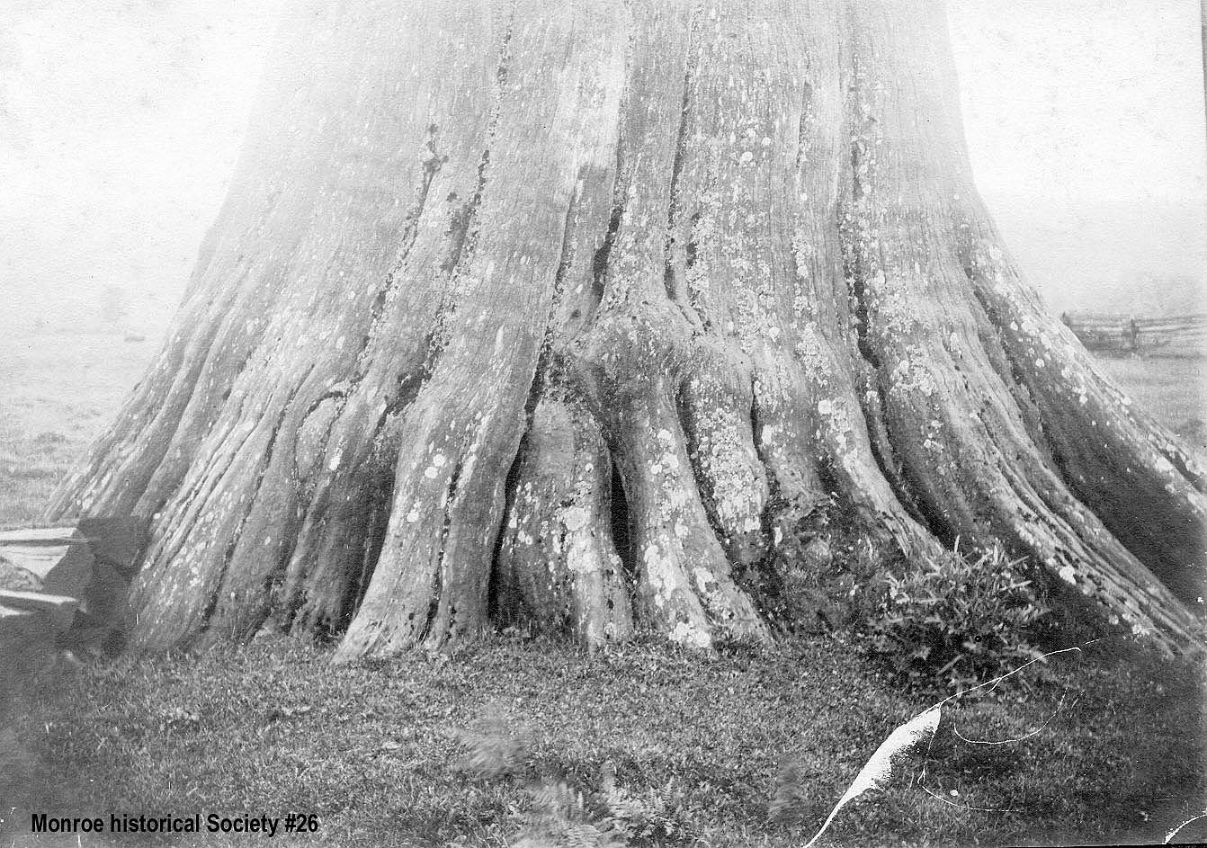 0026 – Large cedar tree, lower trunk